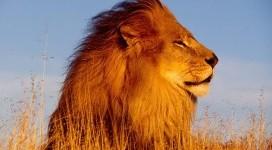 Dopo 15 anni i leoni tornano in Ruanda